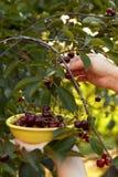 Woman harvesting ripe cherries Stock Photos