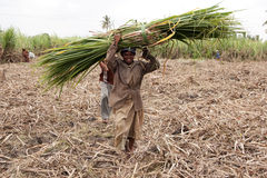 Woman harvesting sugar cane Stock Photo