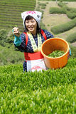 Woman harvesting tea leaves Stock Photo