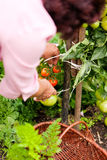 Woman harvesting tomatoes Royalty Free Stock Photo