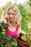 Woman harvesting tomatoes in garden Stock Images