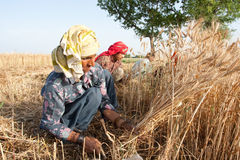 Woman harvesting wheat. Several women harvesting wheat in pakistan Royalty Free Stock Image