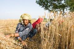 Woman harvesting wheat. Several women harvesting wheat in pakistan Stock Photo