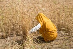 Woman harvesting wheat seeds, India Stock Photography