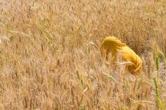 Woman harvesting wheat seeds, India. Wheat crop Harvesting by an Unrecognized woman dressed in yellow uniform, in India Royalty Free Stock Photos