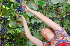 Woman harvesting wine grapes Royalty Free Stock Photography