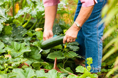 Woman harvesting zucchini in her garden Stock Photos