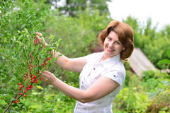 Woman harvests cherries in a  garden Royalty Free Stock Photo