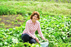 Woman harvests of cucumbers on  summer residence Royalty Free Stock Photo