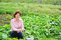 Woman harvests of cucumbers on  summer residence Stock Images
