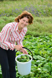 Woman harvests of cucumbers on  summer residence Royalty Free Stock Images