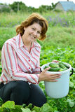 Woman harvests of cucumbers on  summer residence Royalty Free Stock Image