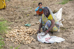 Woman harvests potatoes with bare hands. Stock Photography