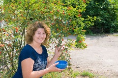 Woman harvests of wild rose in  garden Stock Images
