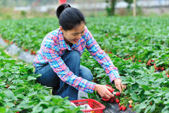 Woman Havest Strawberry Stock Images