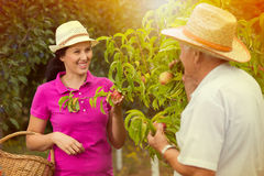 Woman helping an older man in the orchard, to pick peach Stock Images