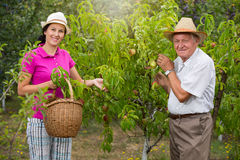 Woman helping an older man in the orchard, to pick pear Stock Photo