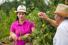 Woman helping an older man in the orchard, to pick pear Stock Photography