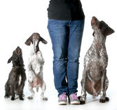 Woman and her dogs. Dog training - woman with two german shorthaired pointers and a mixed breed all looking up to her for direction isolated on white background Stock Photos