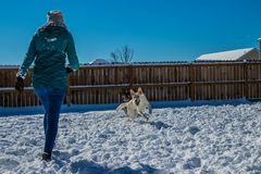 Woman with her dogs in the snow. Woman plays with two german shepherds in the snow royalty free stock photography