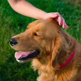 Woman and her family pet dog golden retriever. Human hand stroking beautiful dog. Stock Images