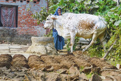 Woman at her farm with cow dung cakes and her cow walking around Royalty Free Stock Photography
