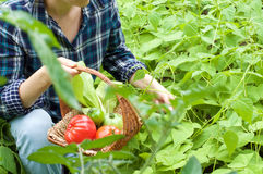 Woman in Her Vegetable Garden. Woman with plaid shirt picking vegetables royalty free stock image
