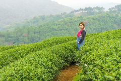 Woman in herb tea plant or Camellia sinensis field Stock Photo
