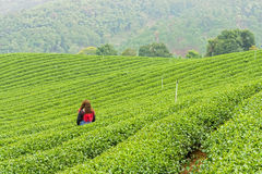 Woman in herb tea plant or Camellia sinensis field Royalty Free Stock Image