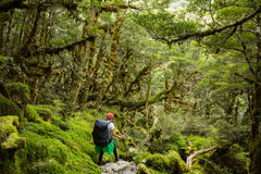 Woman hiker with backpack walking in native beech forest on Rout Stock Image