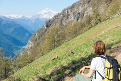 Woman hiker looking at wildlife on the Alps, Ibex grazing on grass mountain slope, Capra Ibex with big horns, springtime Stock Photo