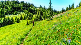 Woman hiking through the meadows covered in wildflowers in the high alpine near the village of Sun Peaks Stock Photography