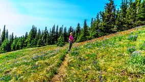 Woman hiking through the meadows covered in wildflowers in the high alpine near the village of Sun Peaks Royalty Free Stock Photography