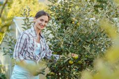 Woman in hobby garden harvesting apples from tree Stock Image