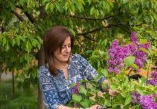Woman hobby, lilac bush care Royalty Free Stock Photo