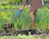 Woman hoeing weeds in the veggie patch Royalty Free Stock Image
