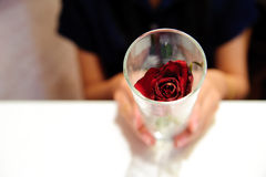 Woman hold glass  red rose flower Stock Images