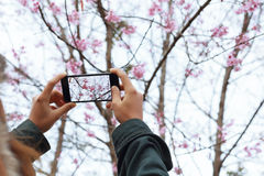 Woman hold smartphone taking photo beauty cherry blossom floral. Woman hold smartphone taking photo beauty cherry blossom Royalty Free Stock Photography