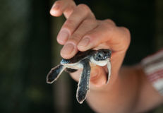 Turtlet. Woman hold a turtlet in her hand. The turtlet is two days old Stock Photo