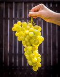 Woman hold white tasty table grapes european grapevine genus vitis in sunlight stock photo