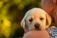 Woman holding adorable labrador puppy dog close to her face royalty free stock image