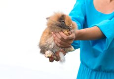 Woman holding baby rabbit on white background.  Royalty Free Stock Photography