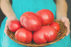 Woman holding a basket on her knees with very large tomatoes. Harvest concept Royalty Free Stock Image