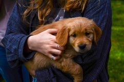 Woman Holding Brown Puppy stock photography