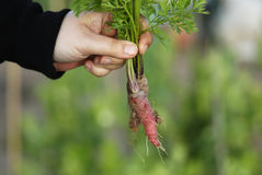Woman holding bunch of carrots. Royalty Free Stock Photography