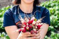 Woman holding bunch of radishes. Woman holding a bunch of  long Duett radishes in the garden in the summer Stock Image