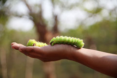 Woman holding caterpillars for silk production, India Royalty Free Stock Images