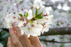 Woman holding Cherry Blossoms II Royalty Free Stock Photo