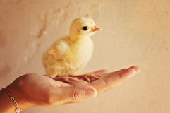 Woman holding a chick Stock Images