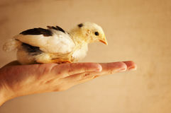 Woman holding a chick Royalty Free Stock Photo